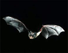 La FAO defiende el papel de los murciélagos en la agricultura y el medio ambiente
