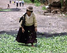 Cultivo de hoja de coca sigue en aumento en Perú a pesar de esfuerzos de erradicación