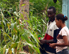 Plantación de maíz - Foto FAO