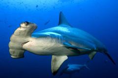 Tiburón martillo - Foto UINC
