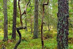 Bosque en Lituania (FAO)