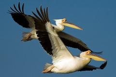Pelícanos (Foto UNEP)