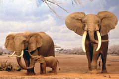 Diezma la población de elefantes (Foto archivo)