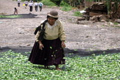 Cosecha de hojas de coca en Bolivia (Foto UN)