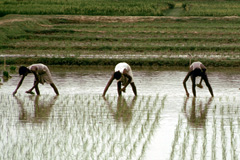 El peligro del arsénico en el arroz (foto WB)