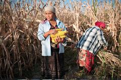 Cosecha del excedente de maíz (UN)