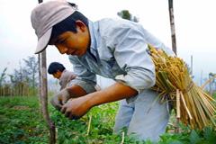 Niños trabajando en viñedos (WB/ C.Z)