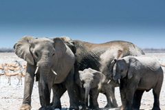 Los elefantes siguen en peligro (WB)