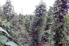 El ñame africano (FAO)