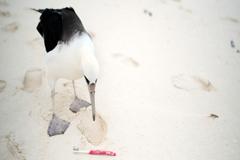 Medio Ambiente: Tener alas no ayuda a las aves a escapar de la amenaza del plástico